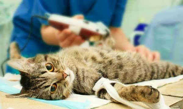 Как происходит кастрация кота на дому