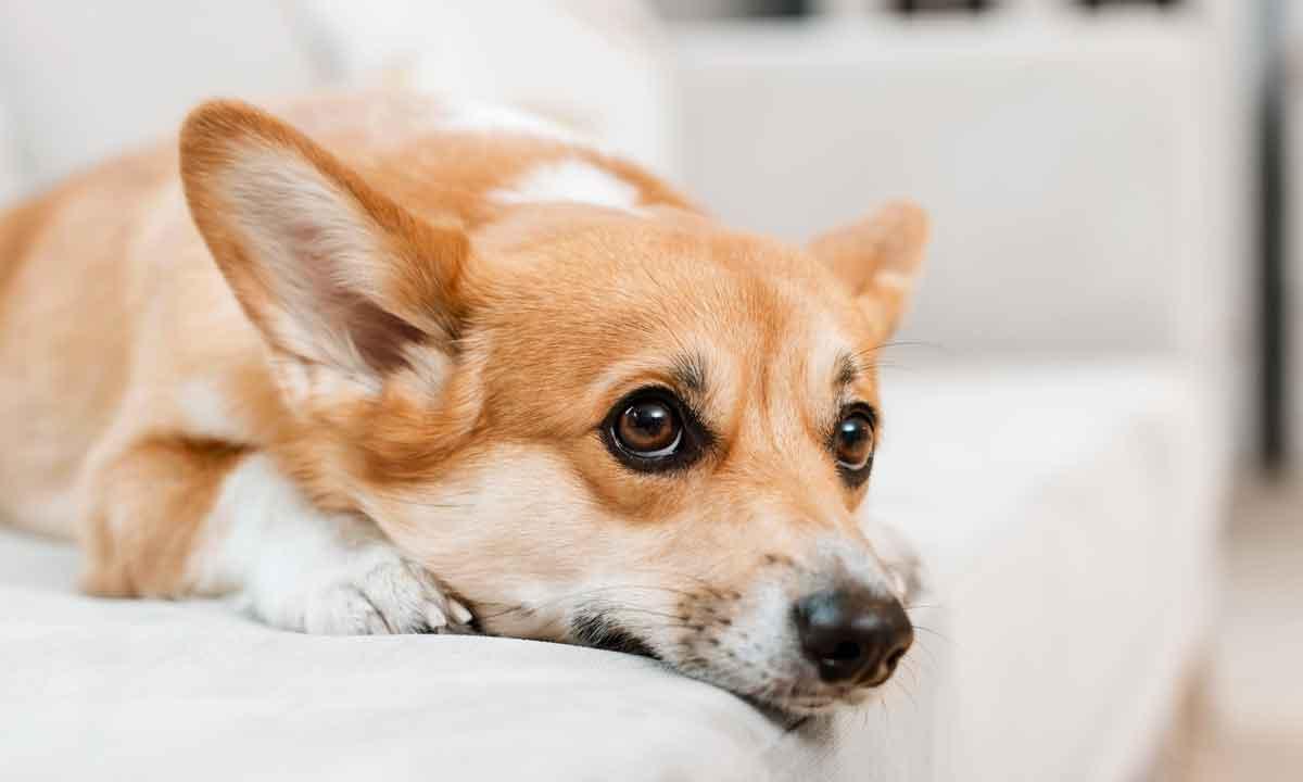 >Грустная собака после кастрации фото