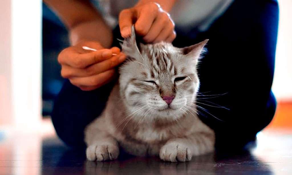 чистка ушей кошки фото