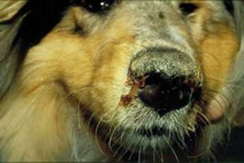 изображение собаки с чумой