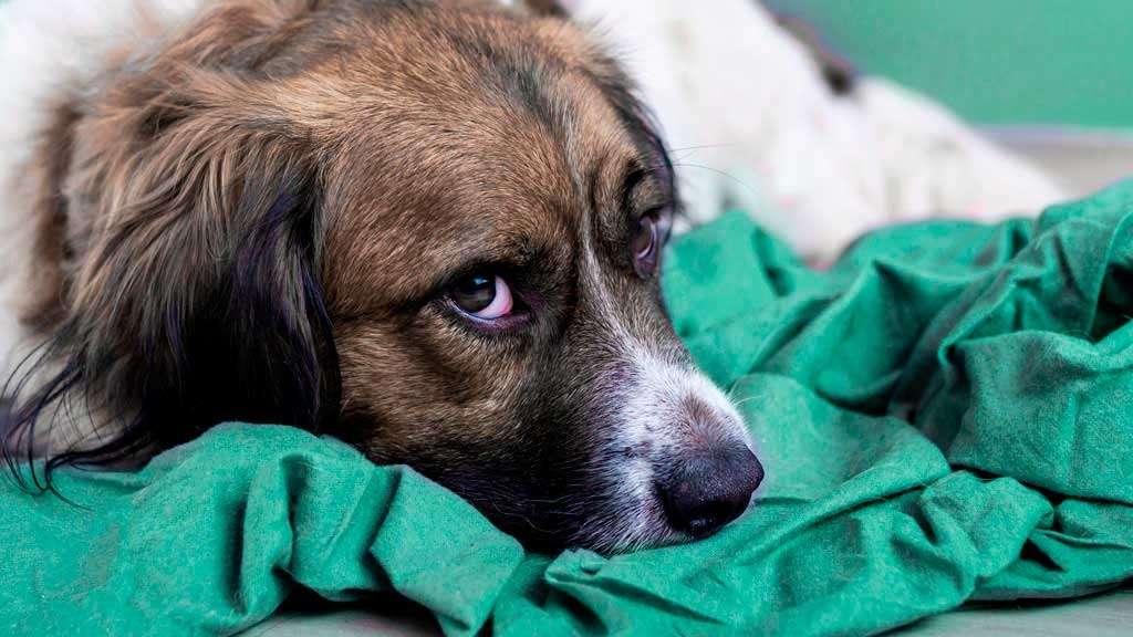 грустная собака лежит на одеяле фото