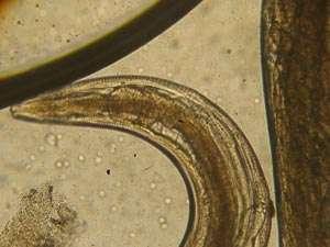 глисты животных под микроскопом