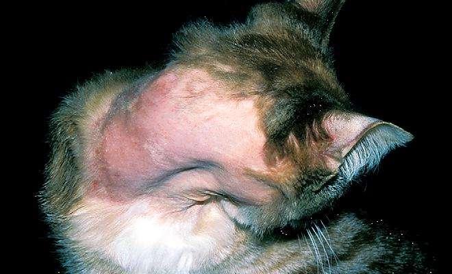 Подкожный клещ у кошек симптомы и лечение