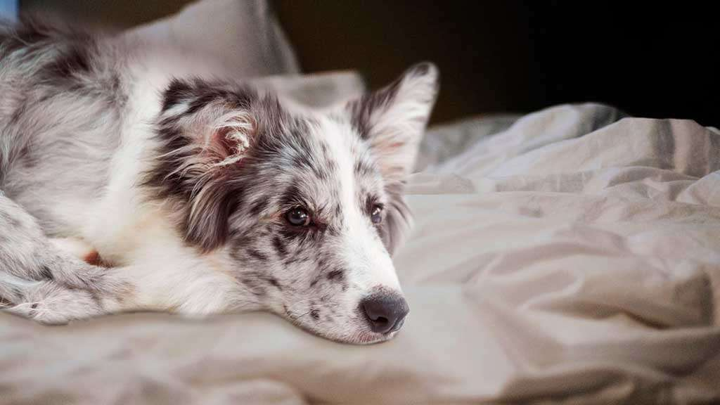 фото грустной собаки на кровати