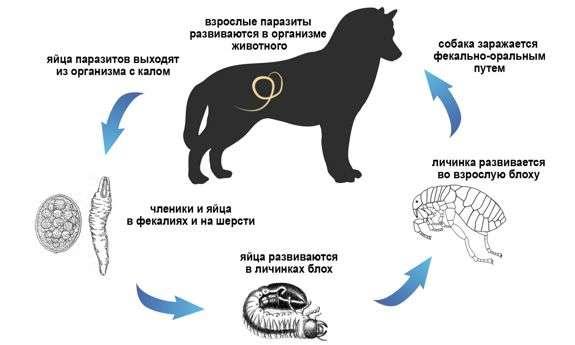 гельминты у собак лечение