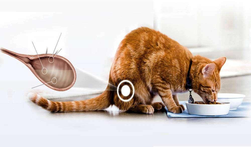 кошка и цистит фото