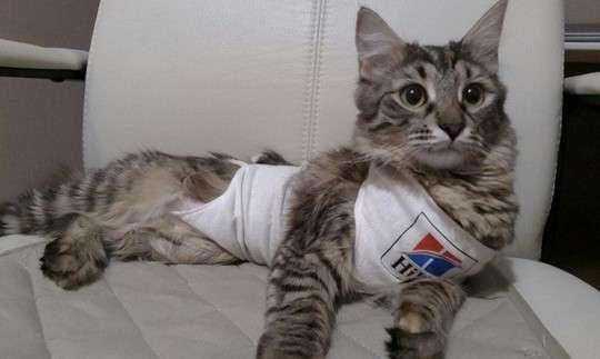 кошка после стерилизации фото