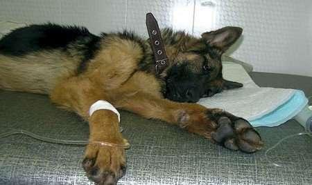 чумка у собак признаки болезни