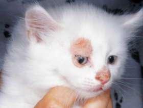 Стригущий лишай у кота, трихофития фото