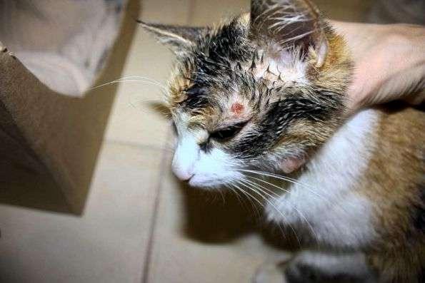 чем лечить лишай у кота