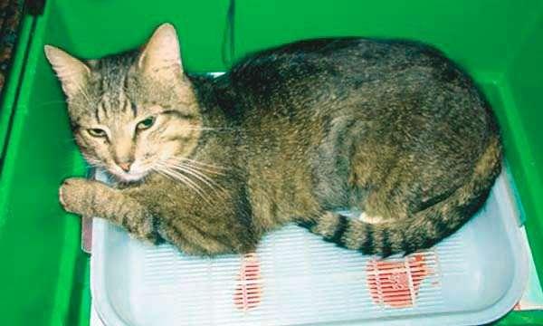 Мочекаменная болезнь у котов факторы риска симптомы и лечение