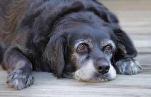 Вакцинация старых собак