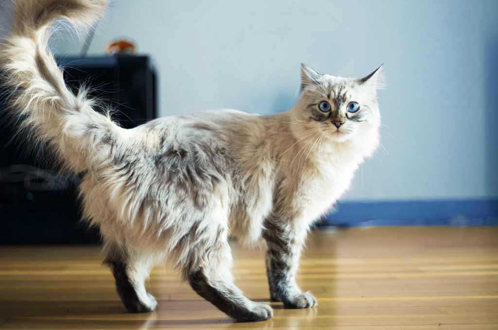 голубоглазая кошка в комнате фото