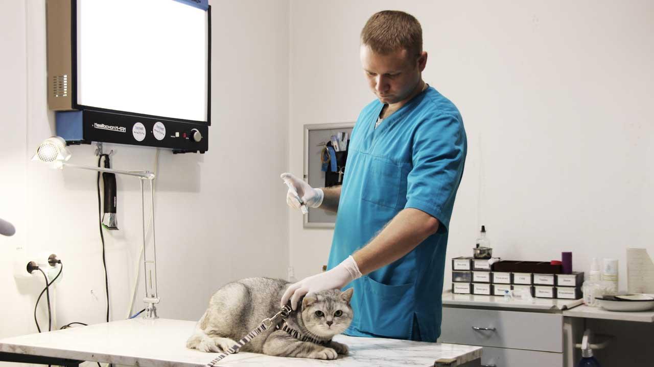 ветеринар делает прививку кошке