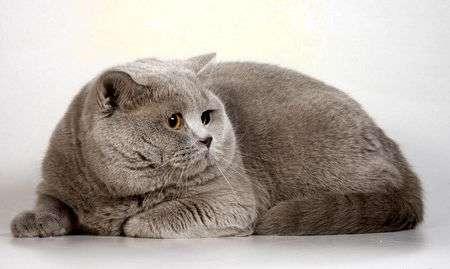 Кот, склонный к ожирению фото